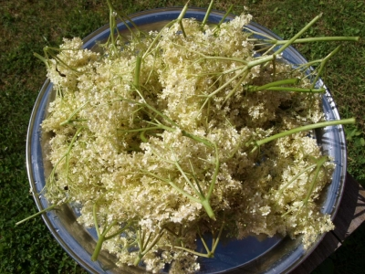 Elderflower season